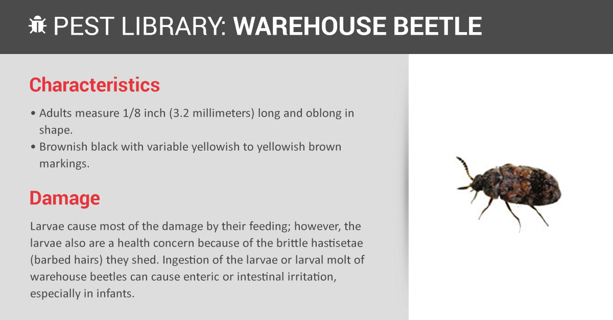 Warehouse Beetle Control Amp Id Copesan Pest Library