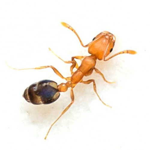 Pharaoh Ant Control Amp Identification Copesan Pest Library