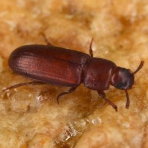 red flour beetle control