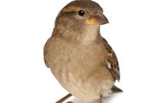 commercial house sparrow management
