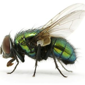 commercial green bottle fly control
