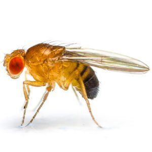 commercial fruit fly control