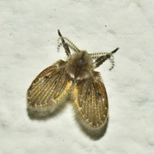 drain fly management