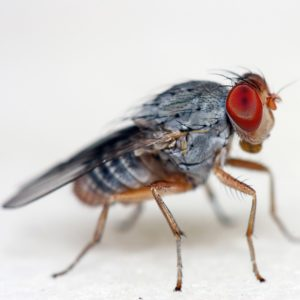 commercial fly management