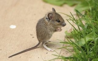 rodent control in California