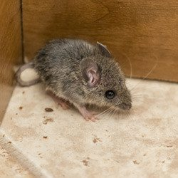 What the Presence of Rodents Means for Your Restaurant | Copesan Blog
