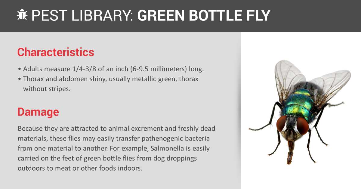 Green Bottle Fly Control & Prevention   Copesan Pest Library