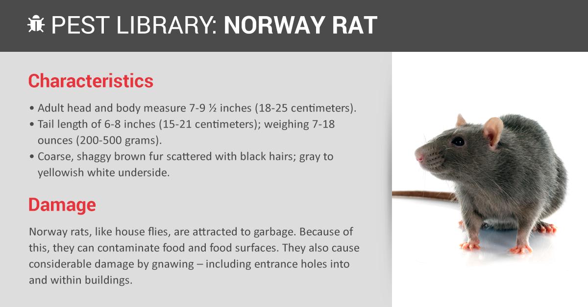 Norway Rat Control Amp Identification Copesan Pest Library
