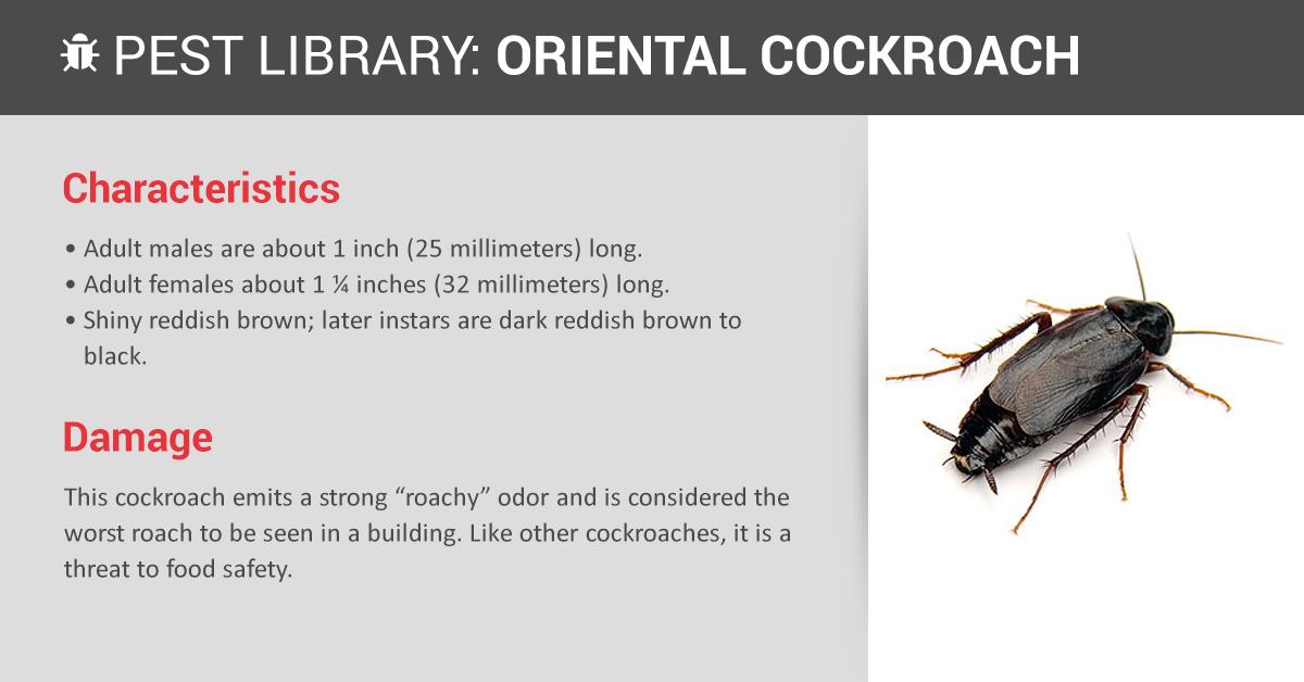 oriental cockroach pest control  u0026 id