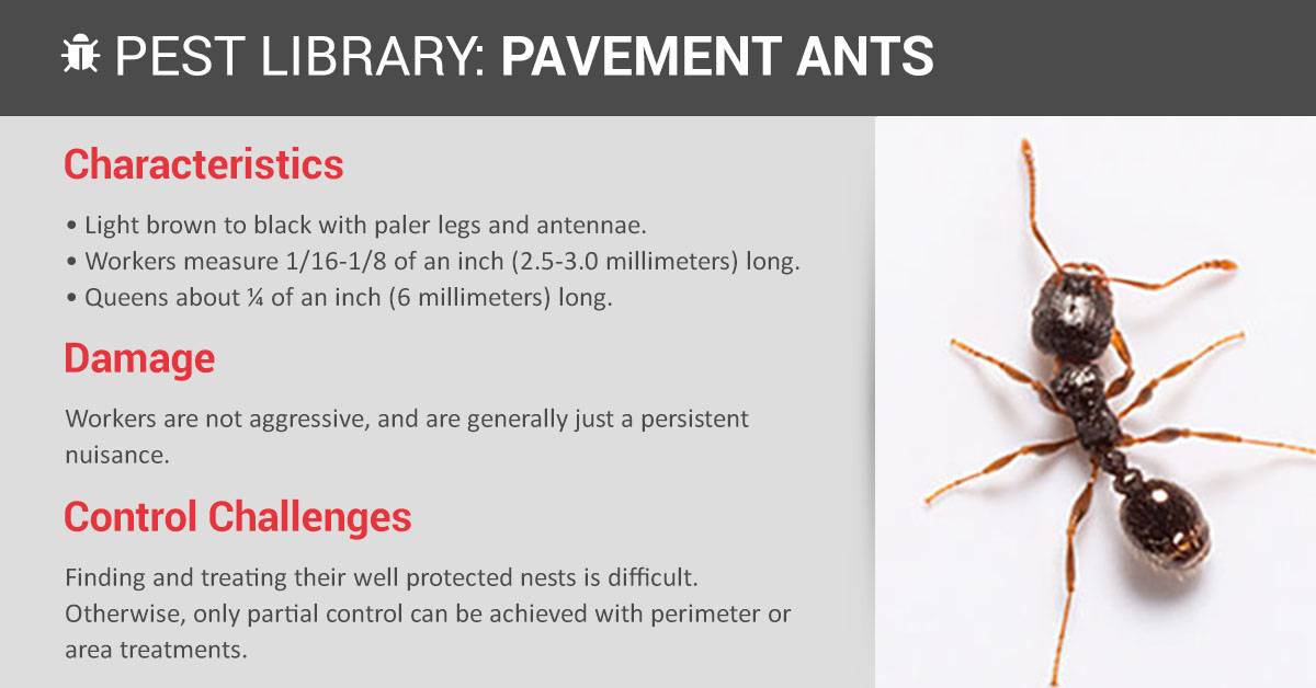 Pavement Ant Control Amp Prevention Copesan Pest Library