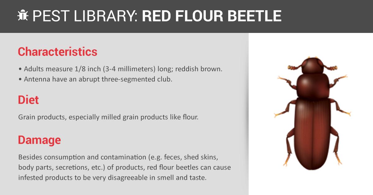 red flour beetle control  u0026 prevention