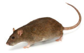 commercial norway rat control