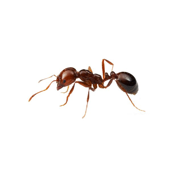 Red Imported Fire Ant Control Id Copesan Pest Library